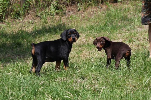 cuccioli dobermann felici